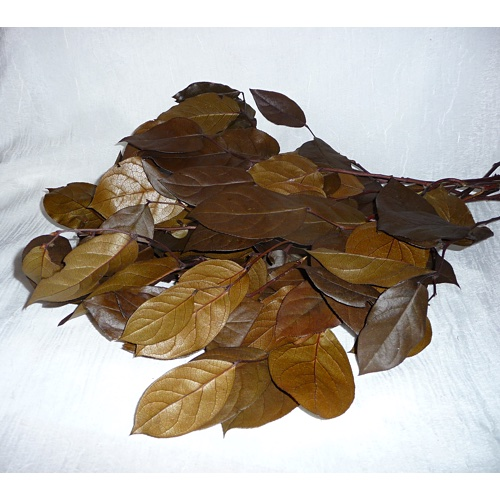 Preserved Salal Leaves