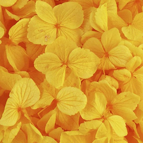 Preserved Macrophilla Hydrangea Yellow
