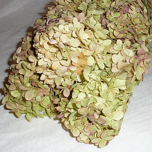 Natural Preserved Limelights Hydrangea Pinks-Greens