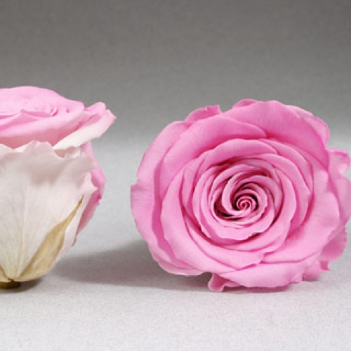 Preserved Fancy Rose Heads Bright Pink Bi