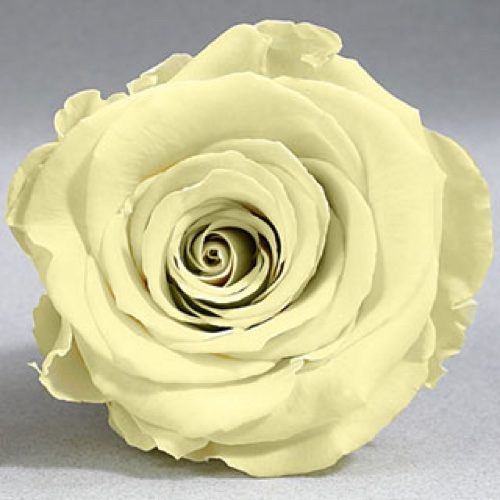 Preserved Fancy Rose Heads Pale Yellow