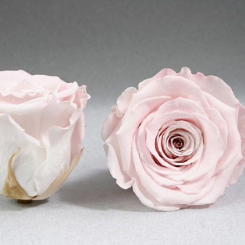 Preserved Fancy Rose Heads Pale Pink Bi