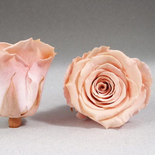 Preserved Fancy Rose Heads Peach