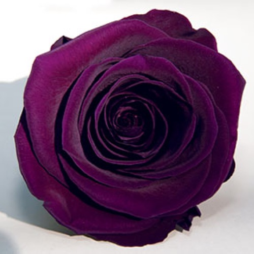 Preserved Fancy Rose Heads Purple