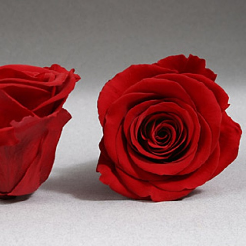 Preserved Fancy Rose Heads Red