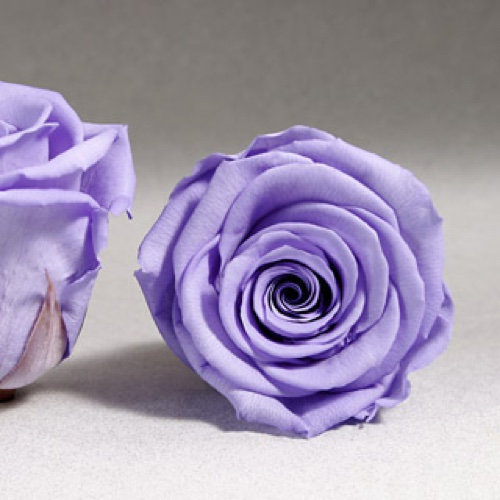 Preserved Fancy Rose Heads Violet