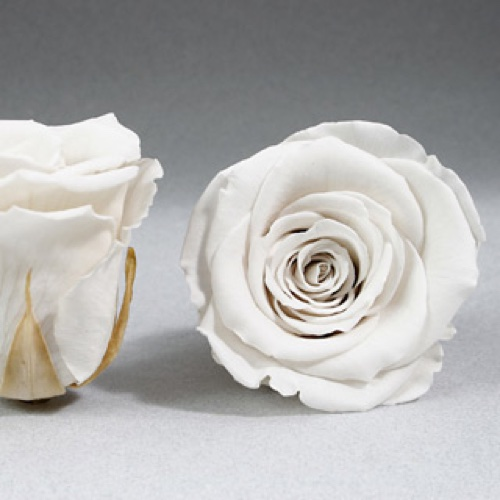 Preserved Fancy Rose Heads White