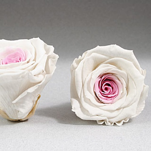 Preserved Fancy Rose Heads White-Pink Bi Color