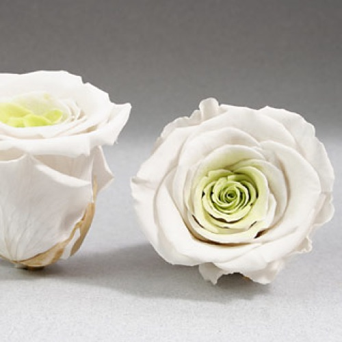 Preserved Fancy Rose Heads White-Chartreuse  Bi Color