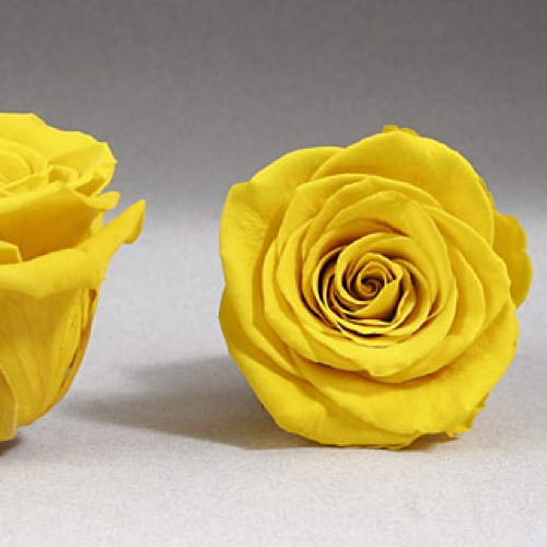 Preserved Fancy Rose Heads Golden Yellow