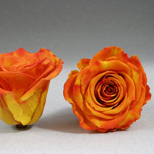 Preserved Fancy Rose Heads Bi-Orange Yellow