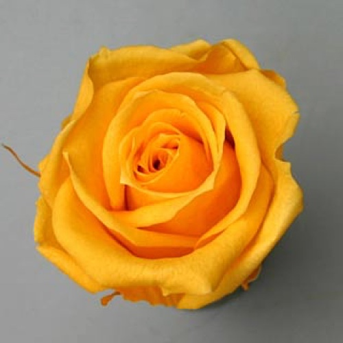 Preserved Rose Heads Golden Yellow
