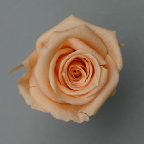 Preserved Rose Heads Orange