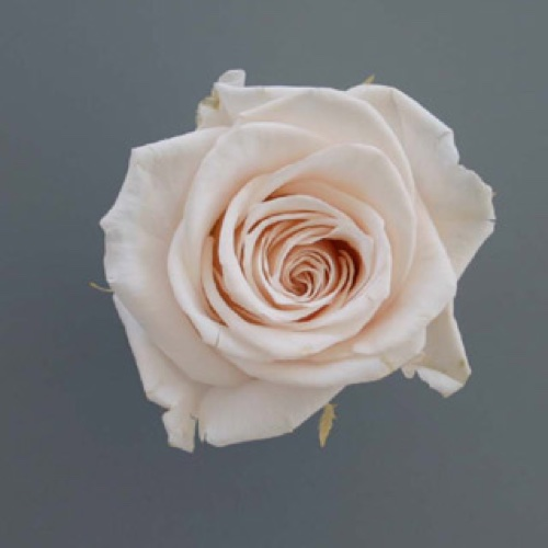 Preserved Rose Heads Porcelain