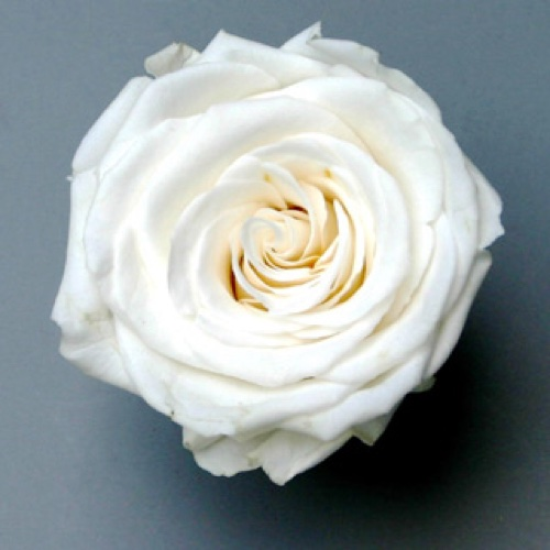 Preserved Rose Heads White