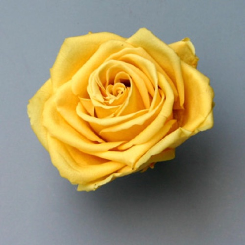 Preserved Rose Heads Yellow